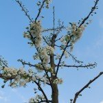 Apfelbaum im Königgut